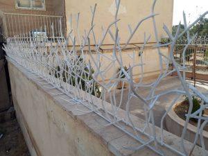 حفاظ شاخ گوزنی در قزوین